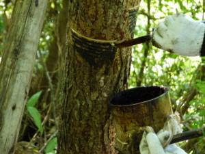 うるしの樹液とり