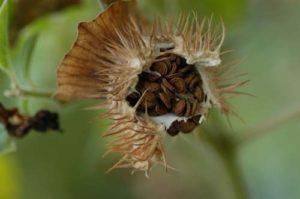 チョウセンアサガオの種